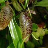 Nepenthes10_small