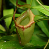 Nepenthes12_small