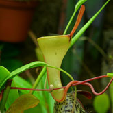 Nepenthes14_small