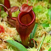 Nepenthes15_small