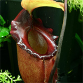 Nepenthes1_small